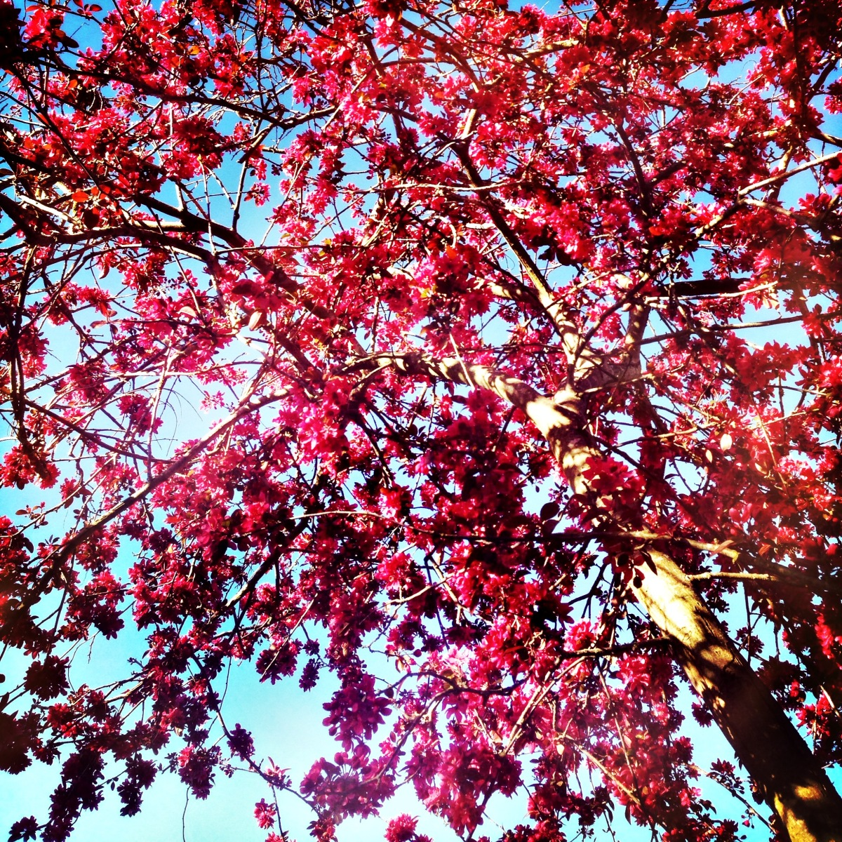 Red tree. Blue sky. Beautiful Autumn.