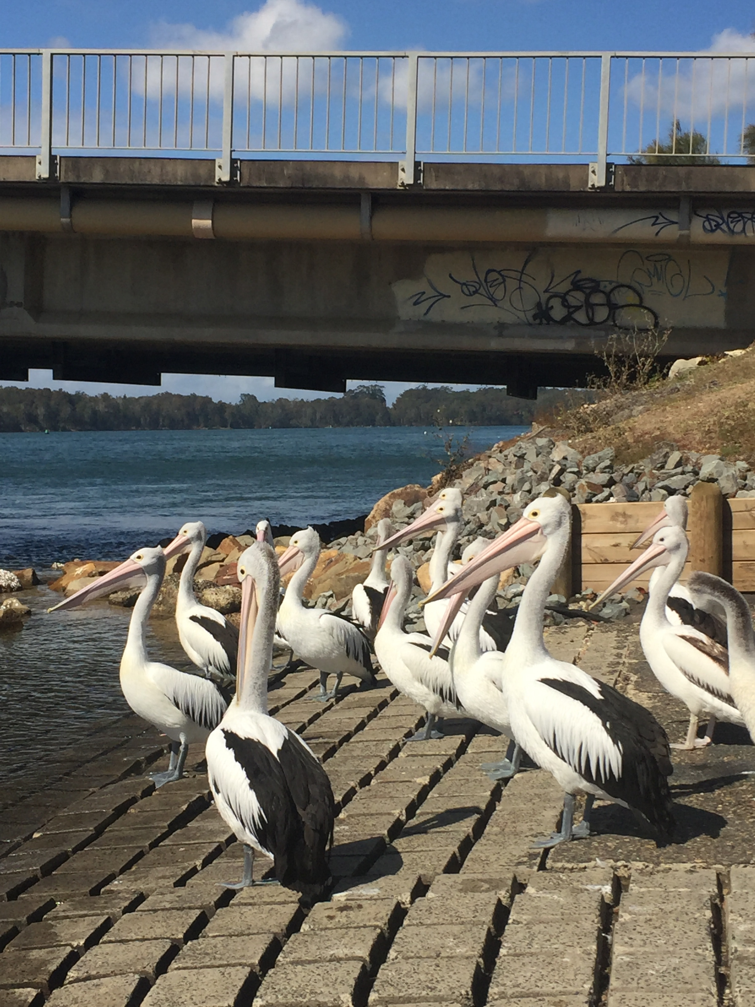 Pelicans. Lots of pelicans on a river bank near the water. Behind them is a bridge with white paint and graffiti.